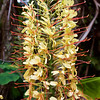 We were on Hawaii just as the kahili ginger made a spectacular display.