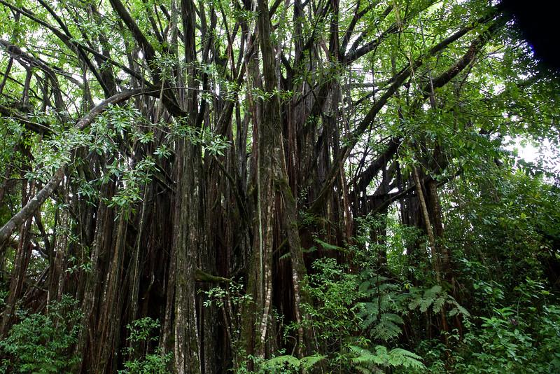 Banyans thrive in the lush rainforest.
