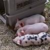 3 piggies