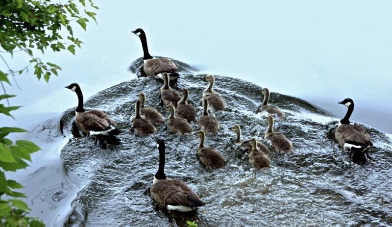 geese family swimmingA! 068 [800x600].jpg