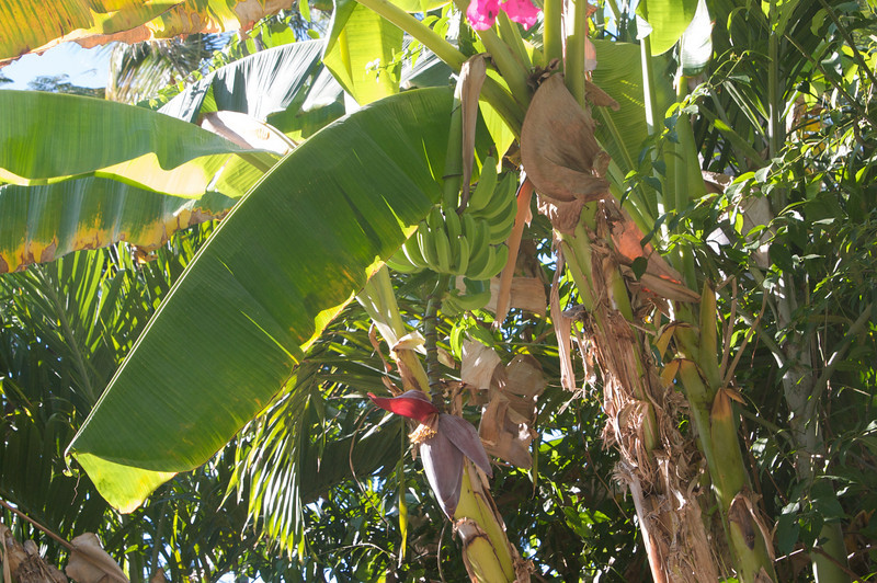 Banana tree in our private patio/pool area