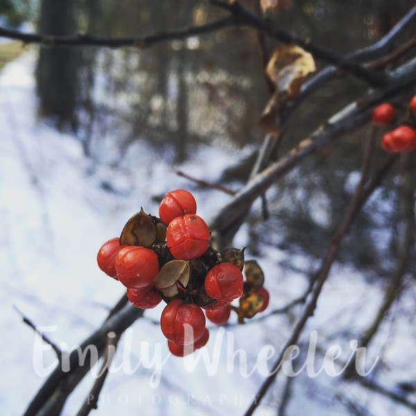 Day 20 | January 20th<br /> Berries on our morning walk