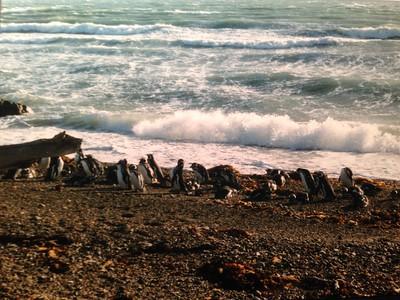 1997  Penguins (Chile)