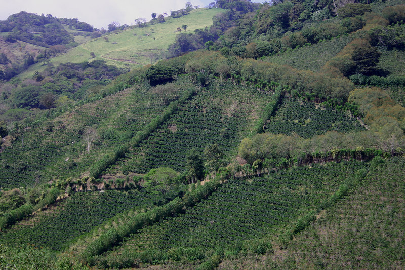 Coffee plantations on the steep hillsides.