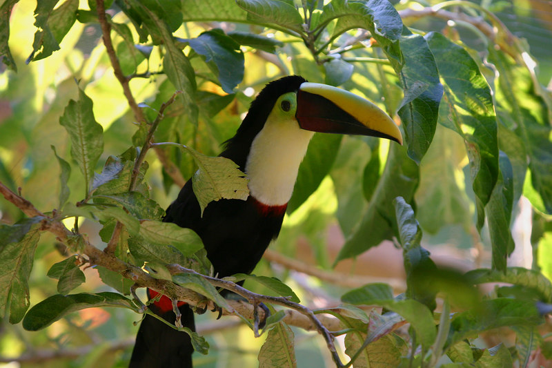 . . .watched the yellow billed toucans . . .