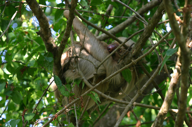 This time it was a two-toed sloth who greeted us at Hacienda Baru. Actually, they are noctural so he was asleep.