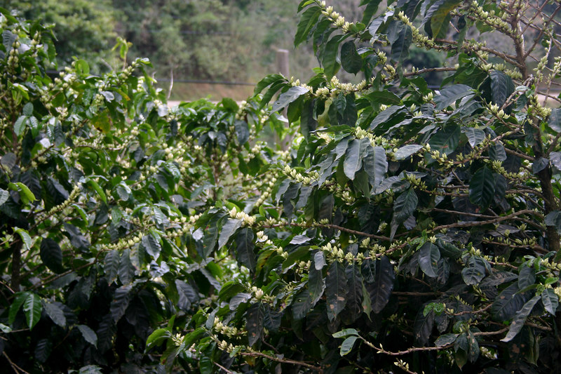 Coffee plants under cultivation.