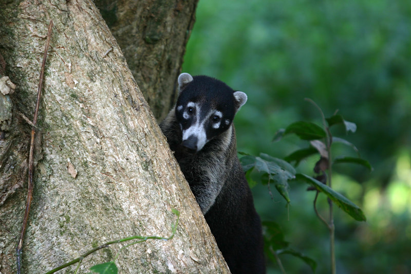 The next morning I took an early walk and met this white-nosed coati on the trail toward the beach. Coatis are a distant cousin of the raccoon.
