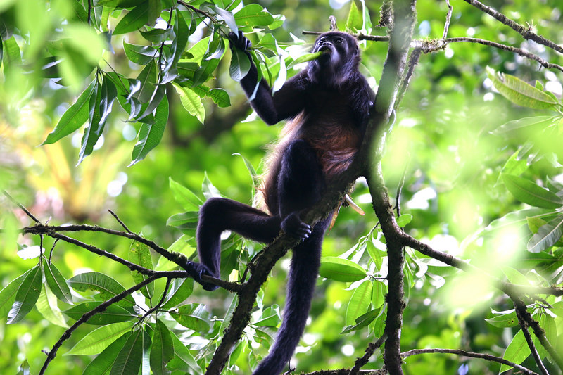 After watching the spider monkeys, we heard even more noise and a  group of howler monkeys appeared, munching on leaves as they moved through. Quite a sight!