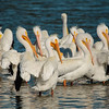 Flock of White Pelicans Socializing