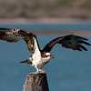 Osprey Getting Ready to Take Flight with Fish