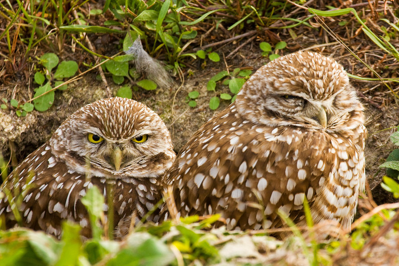 Burrowing Owl Pair at Cape Coral