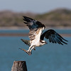 Osprey Taking Off with Partially Eaten Fish