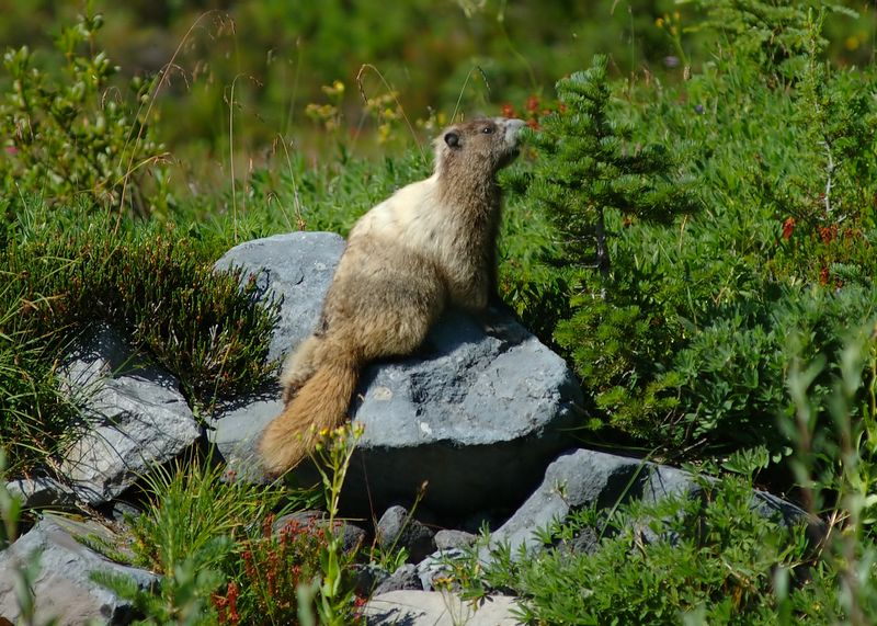 Marmot on Mount Ranier.