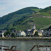 Rhine Wine Grapes