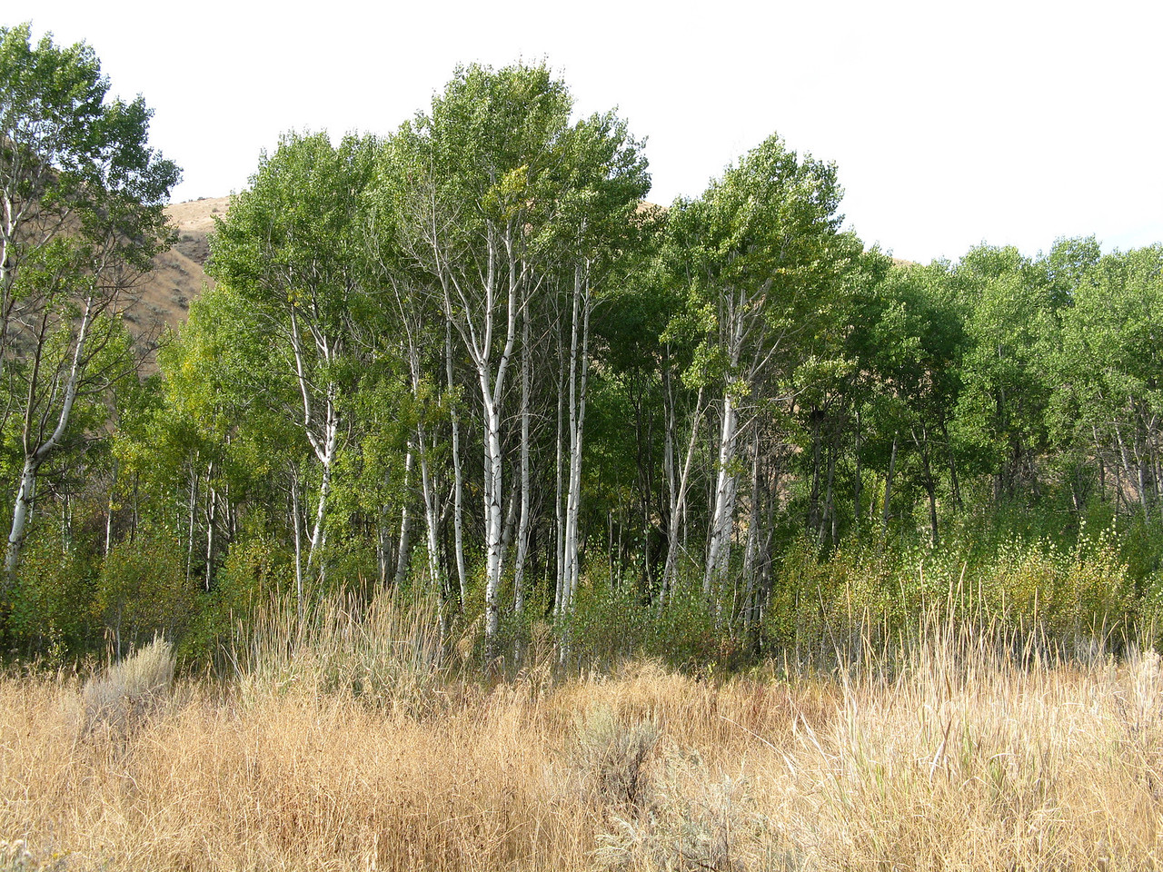 One of many aspen groves along the trail.