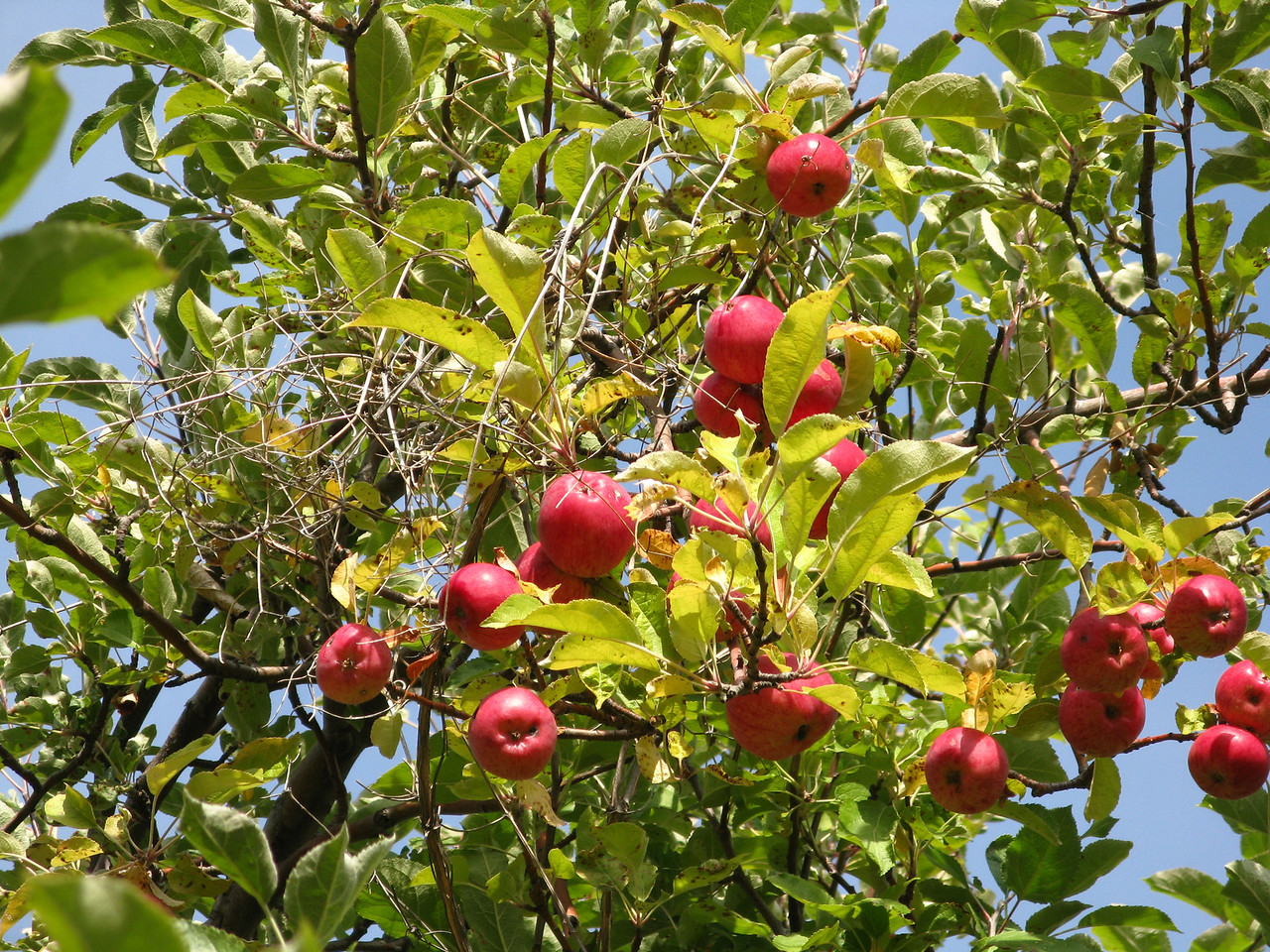 The apples were ripe, but too high to reach.  The deer probably ate the low lying fruit.