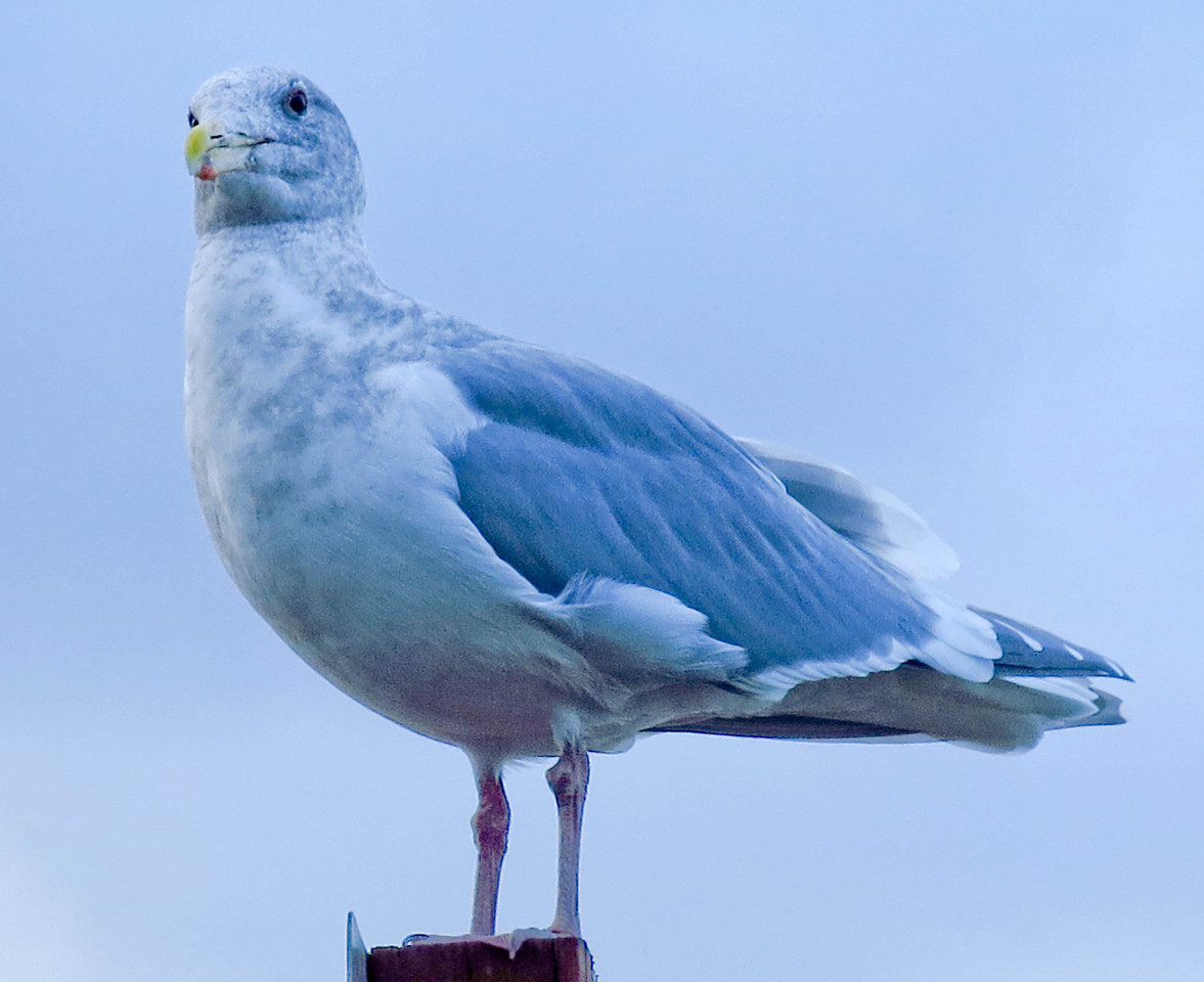 Sea gulls are a common sight.  This one is standing on top of a sign post.