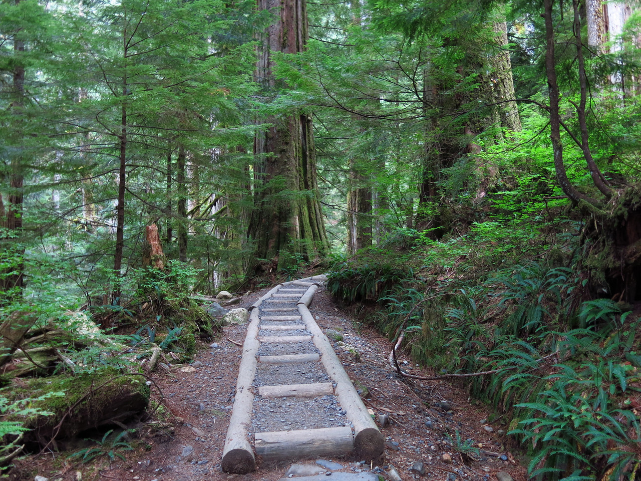 """As we climbed up the mountain, we were privileged to walk in """"old growth forest"""".  The huge cedars along the trail are many hundreds of years old."""