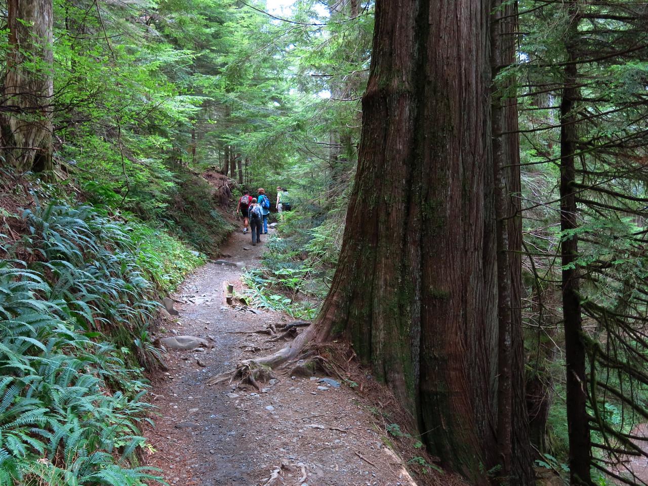 Another gargantuan tree trunk dwarfs the homo sapiens on the trail.