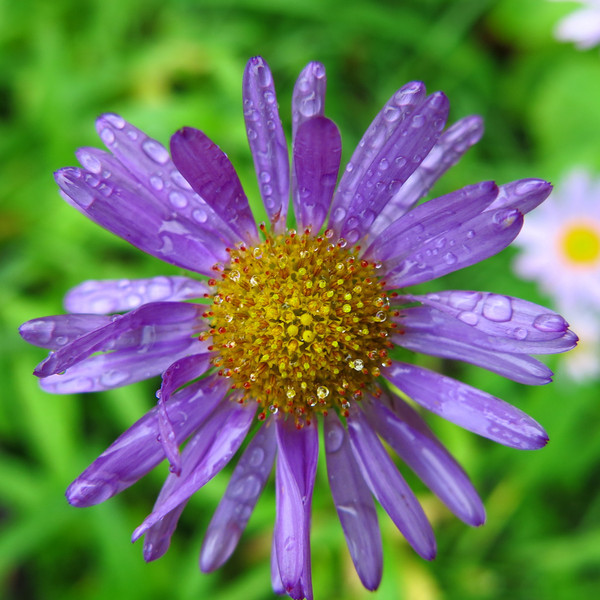 Lavender colored petals on a flower that looks like a daisy.
