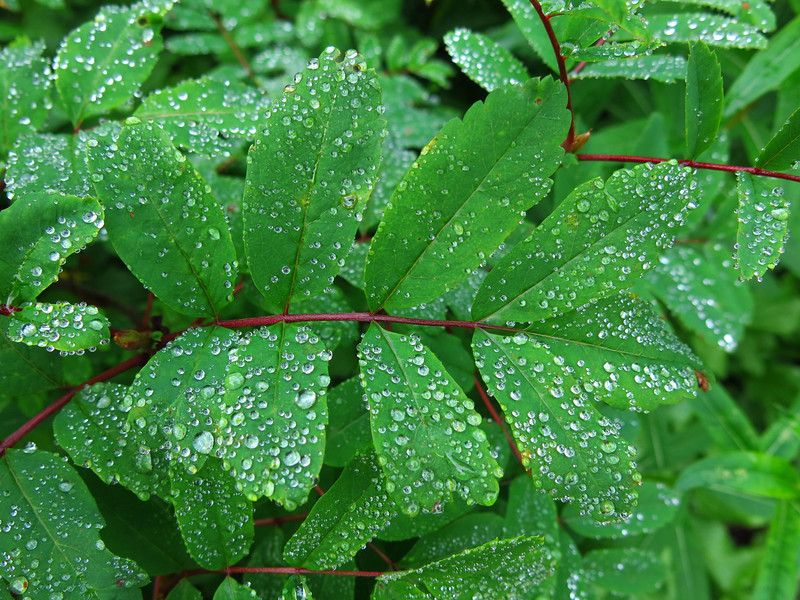 These water droplets are gleaming on the deep green foliage.