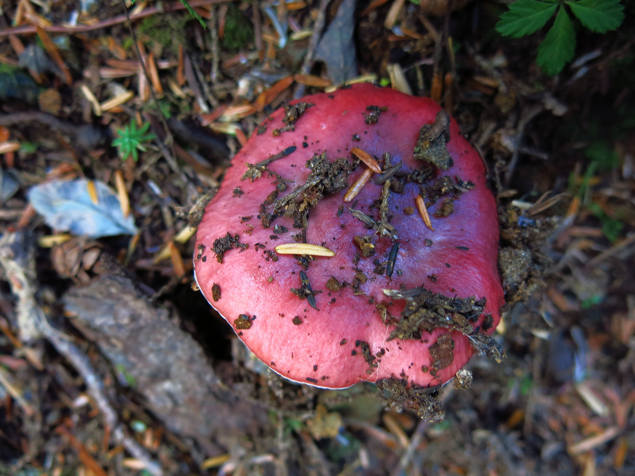 This red mushroom certianly appears to have popped up from the needle covered earth at its base.
