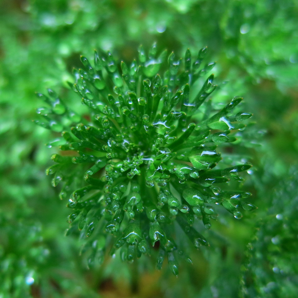A little green sphere covered in glimmering water droplets.