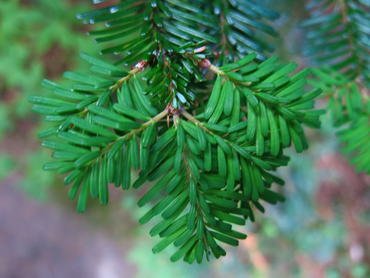 New needles at the end of an evergreen branch.