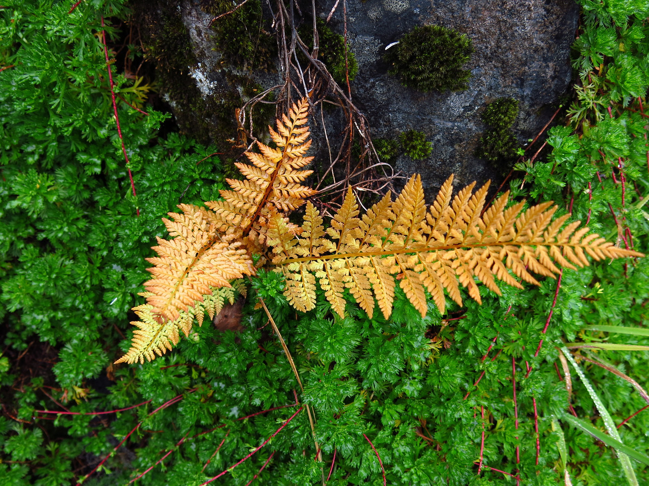 A yellow fern.