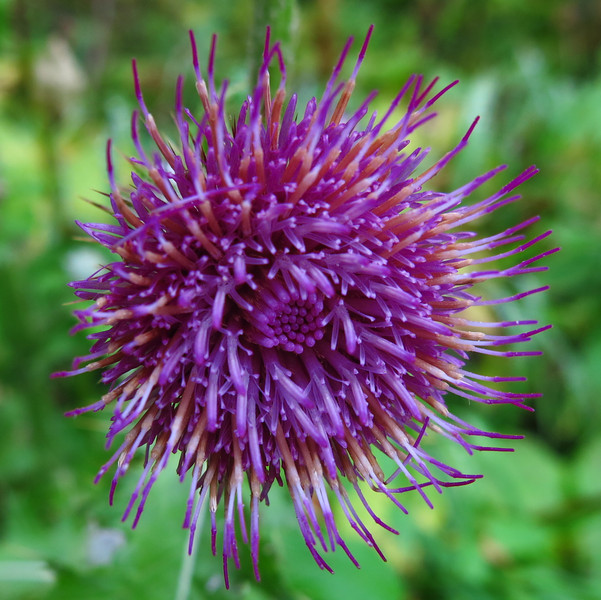A thistle blossom.