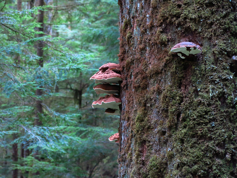 This is a telephone view of interesting fungus high up on this tree trunk.