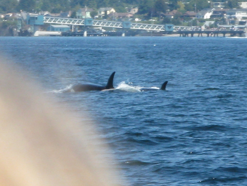 Another view of the orcas.