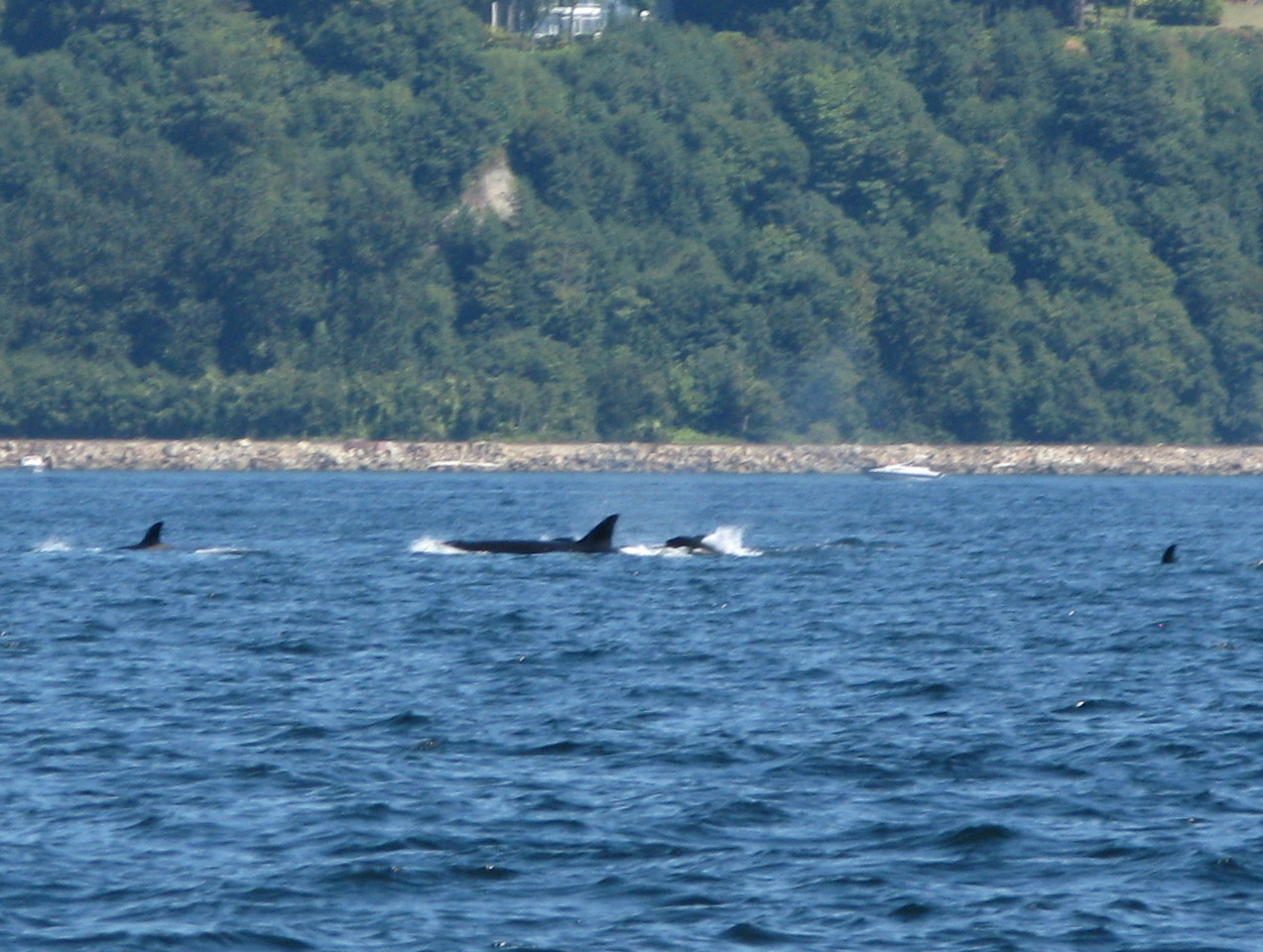When we first saw this group of cetaceans in the water off of Edmonds, we were not sure if they were Dall's porpoises or killer whales.