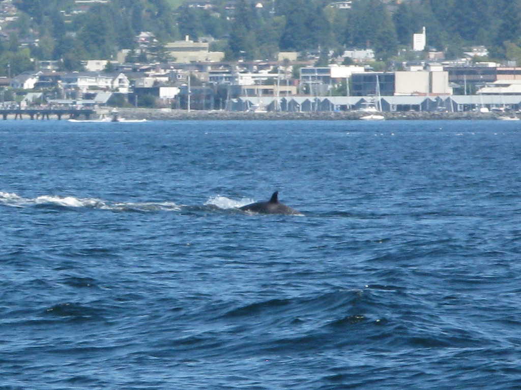 A grey spot can be seen distal to the dorsal fin on this orca.