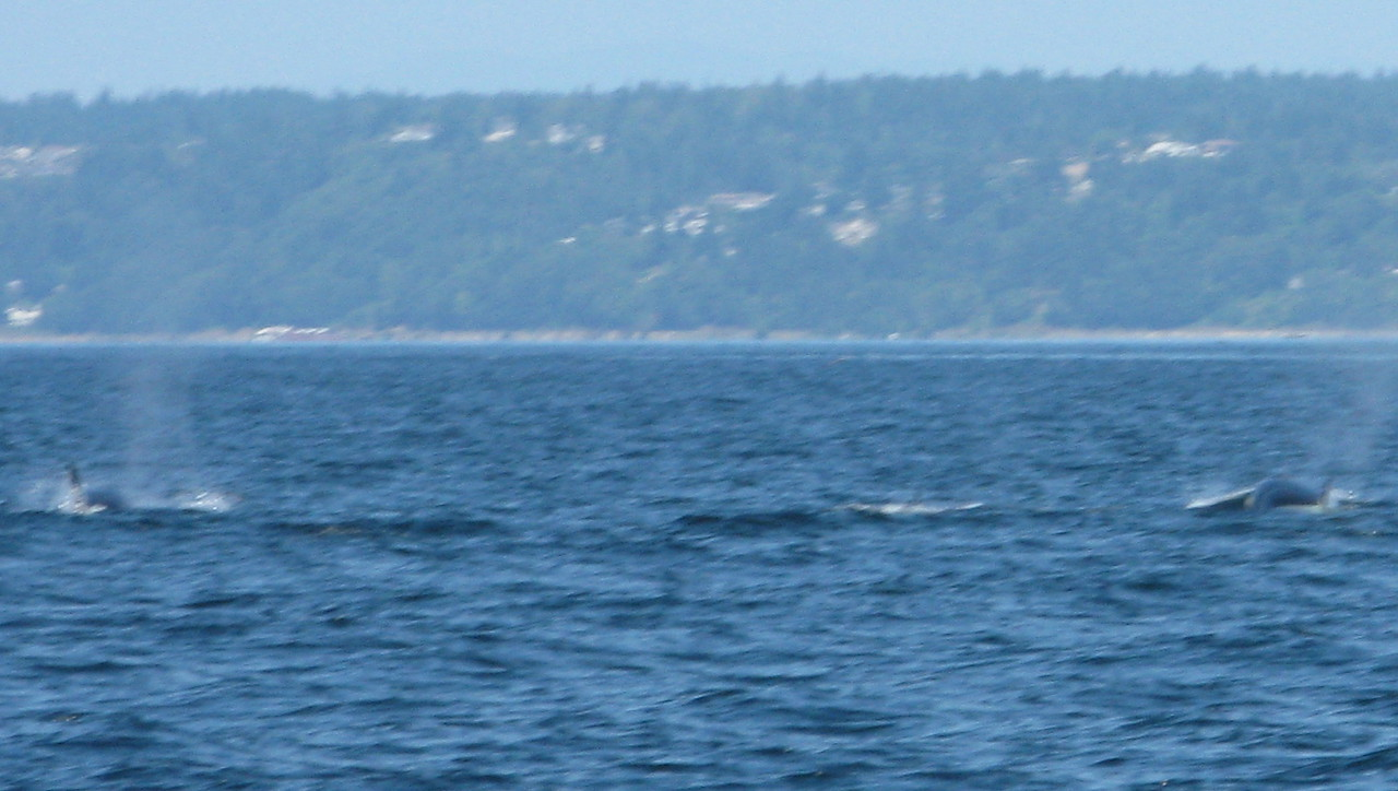 There were about 6 whales in this pod and they were travelling north and traveling fast -- faster than we could sail.  They were swimming out of sight before we knew it.