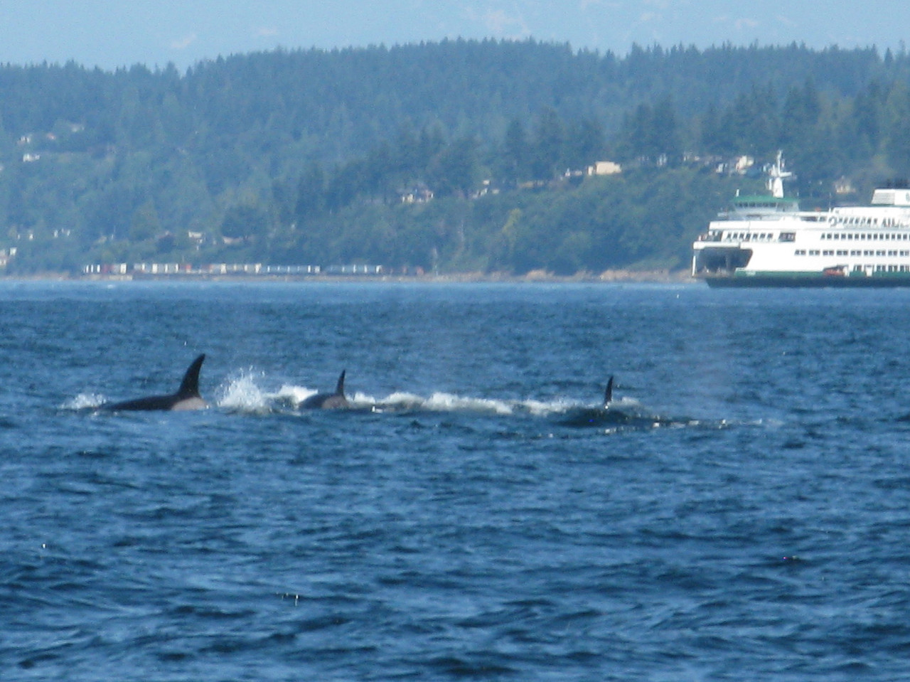Both of the orcas on the left are showing a grey spot behind their dorsal fins.  The identity of individual orcas, which are  tracked in the San Juan Islands, can be established by the shape and color of the patch of grey or white in the saddle behind the dorsal fin.