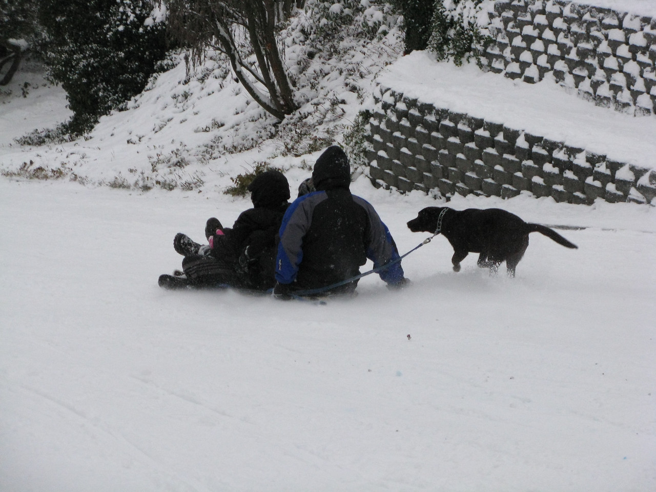 Snow is flying behind the sledders.