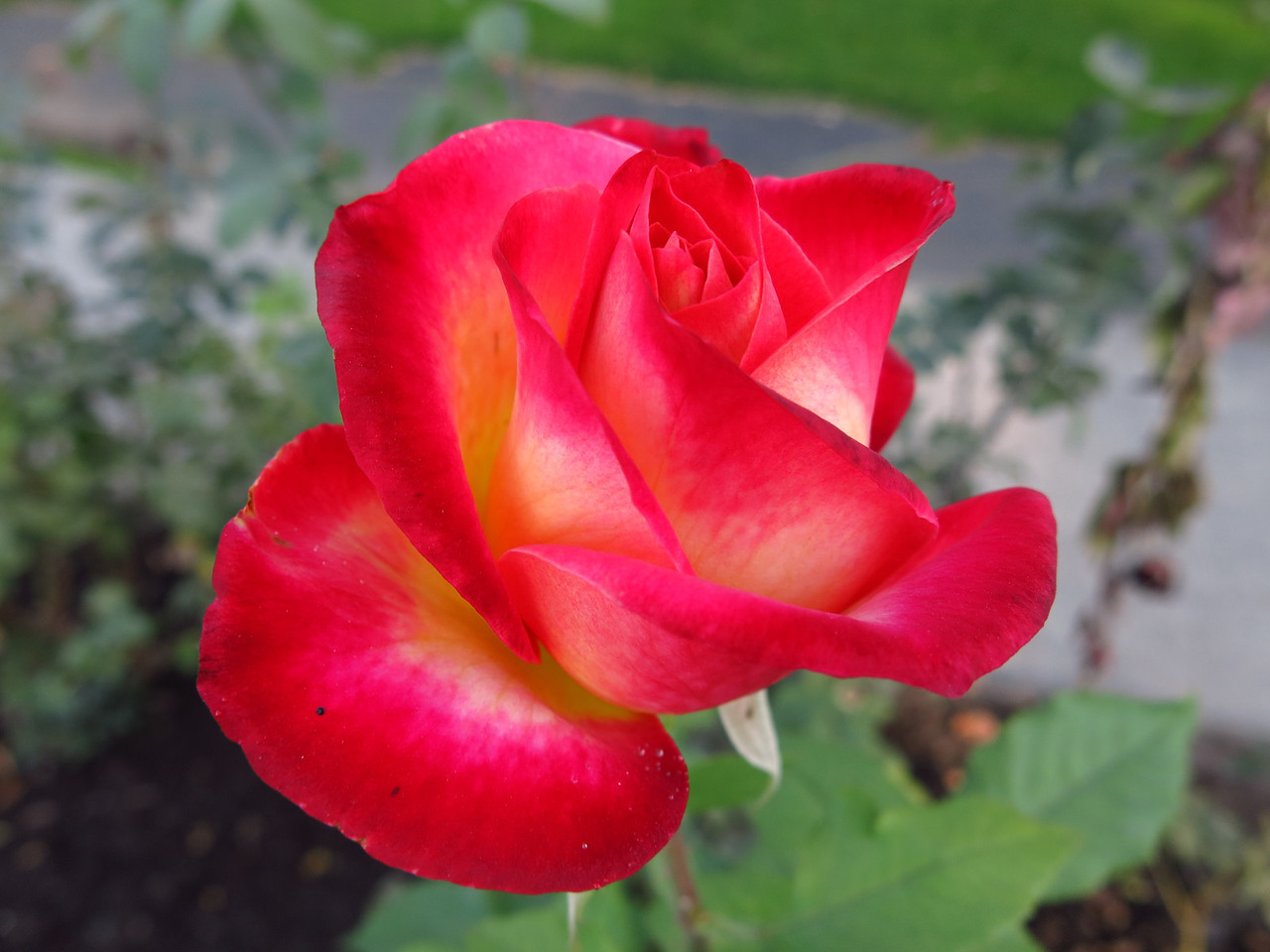 A lovely rose.