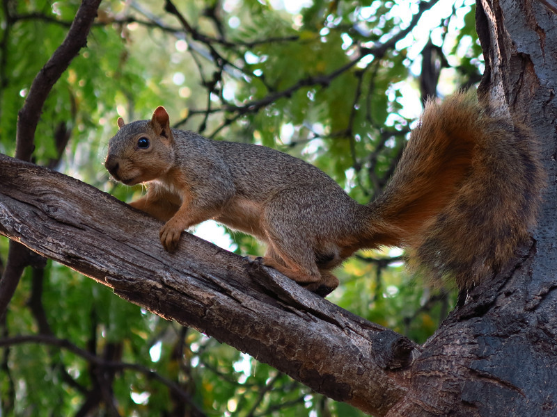 A squirrel on a tree limb along one the the streets in Walla Walla.
