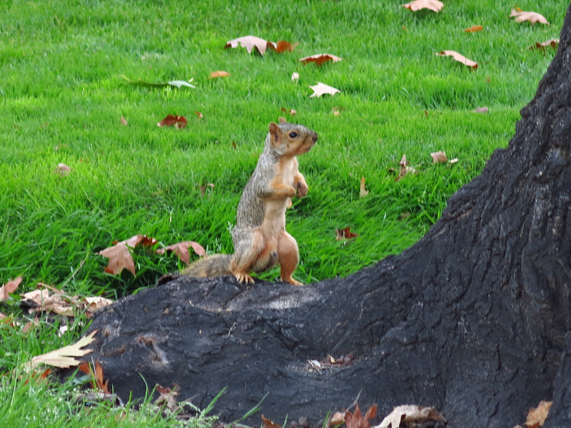 A biped squirrel.