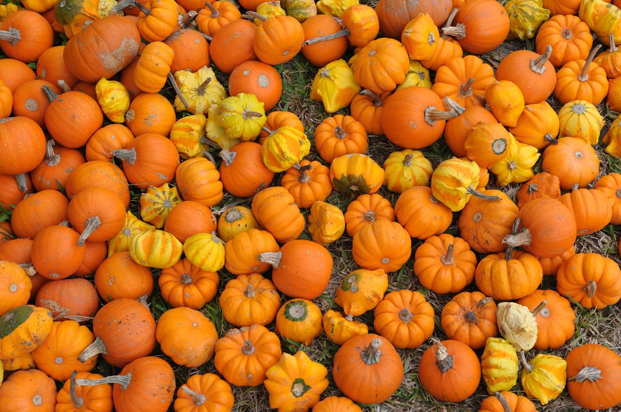 Brooklynn sized pumpkins