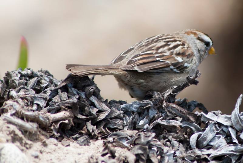 DSC_6317: A little bird we saw while in Monterey, CA