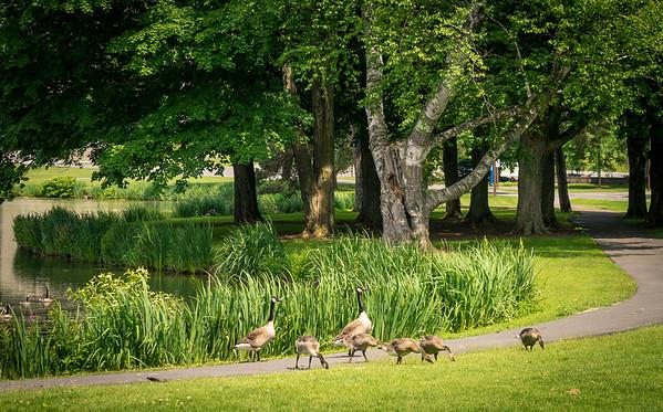 Duck crossing