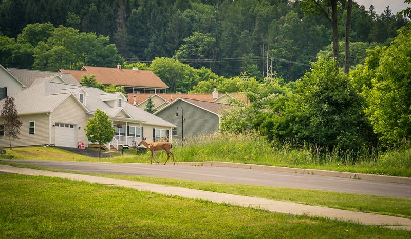 Deer crossing at Five Trees