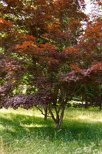 mom's japanese maple tree in the fromt circle