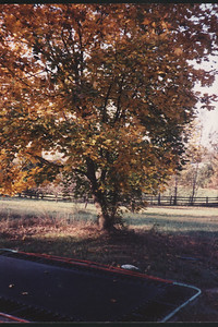 maple tree and trampoline about 1988