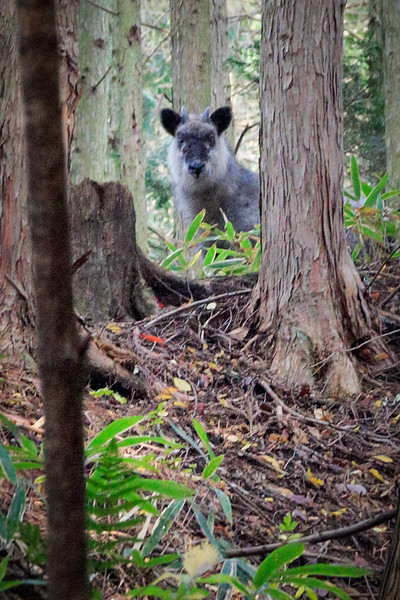 A Japanese Serow Goat in the forests near Tsumago