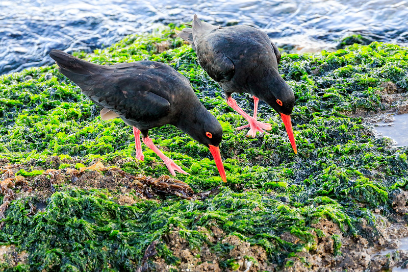 African (Black) Oystercatchers