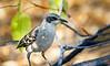 A Galápagos Mockingbird